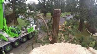 Wellingtonia - Yockley Close Feb 2016 26