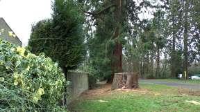 Wellingtonia - Yockley Close Feb 2016 66